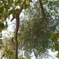 Công hiệu chữa bệnh bất ngờ từ cây tầm gửi