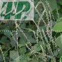 Bán cây cỏ xước tại Vũng Tàu chất lượng