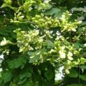 công dụng của hoa hòe